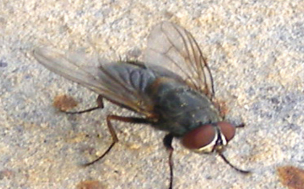 Common House Fly.